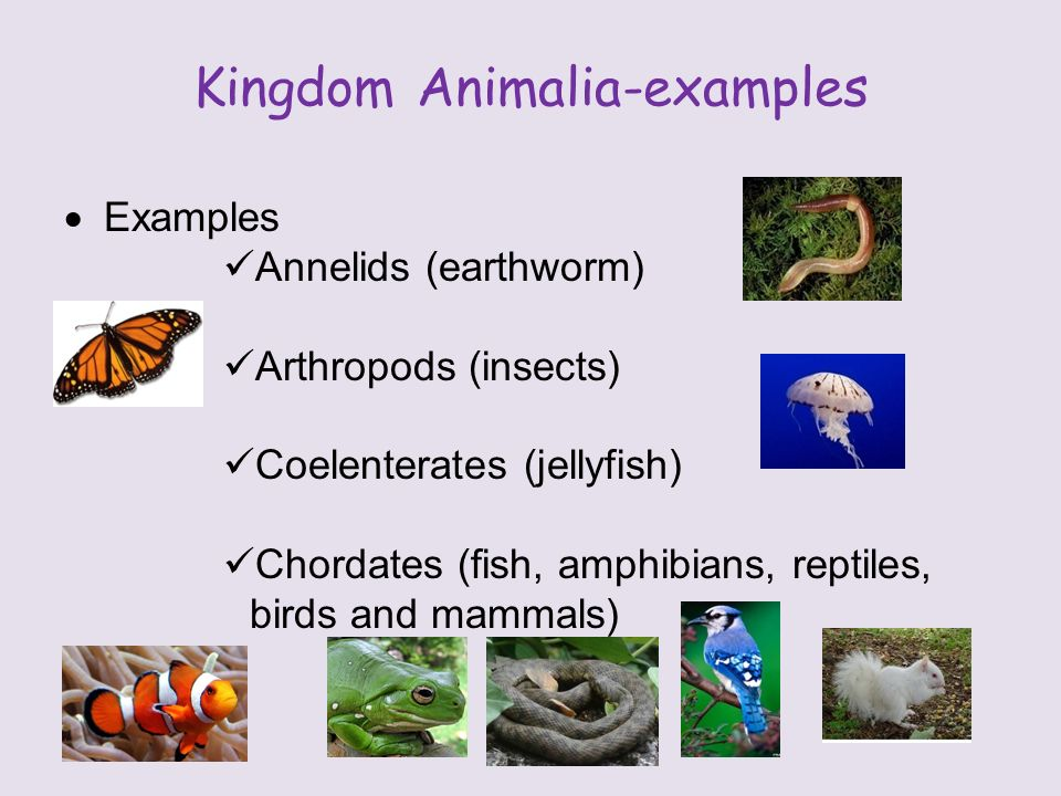Kingdom Animalia-examples  Examples Annelids (earthworm) Arthropods (insects) Coelenterates (jellyfish) Chordates (fish, amphibians, reptiles, birds and mammals)