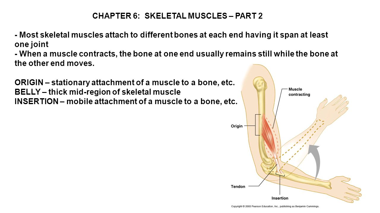 CHAPTER 6: SKELETAL MUSCLES – PART 2 - Most skeletal muscles ...
