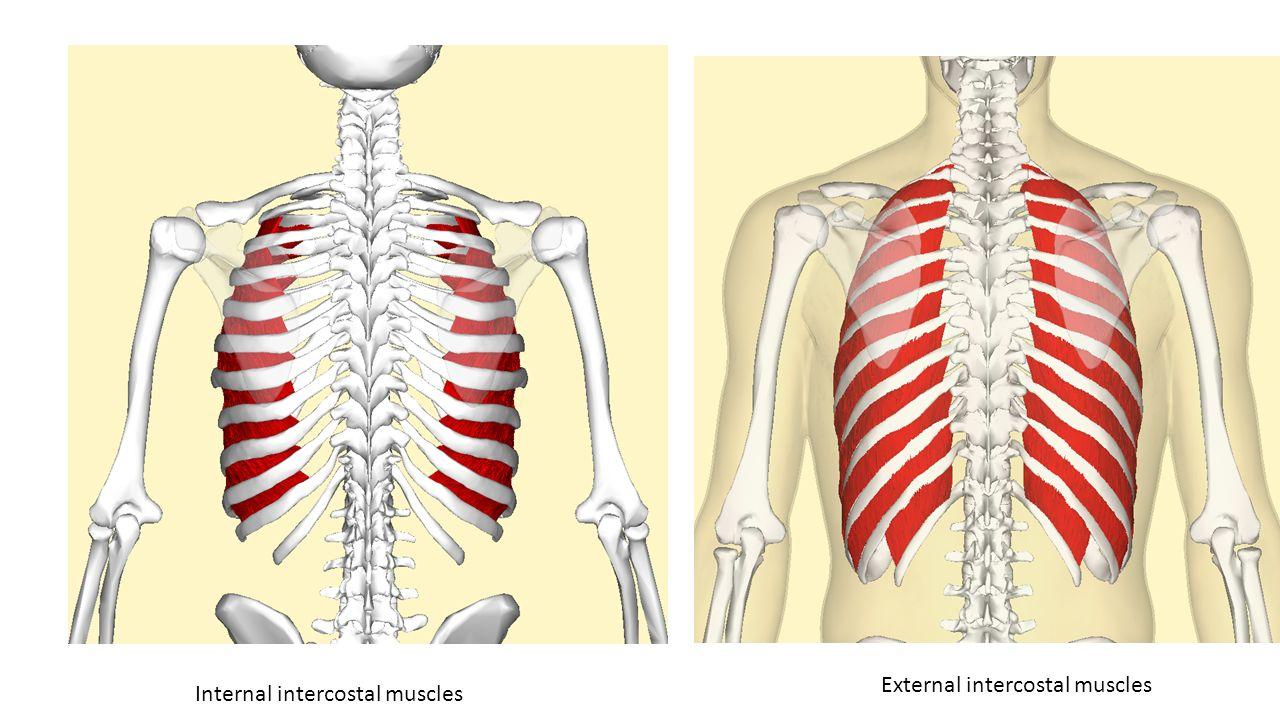 Intercostal muscles anatomy