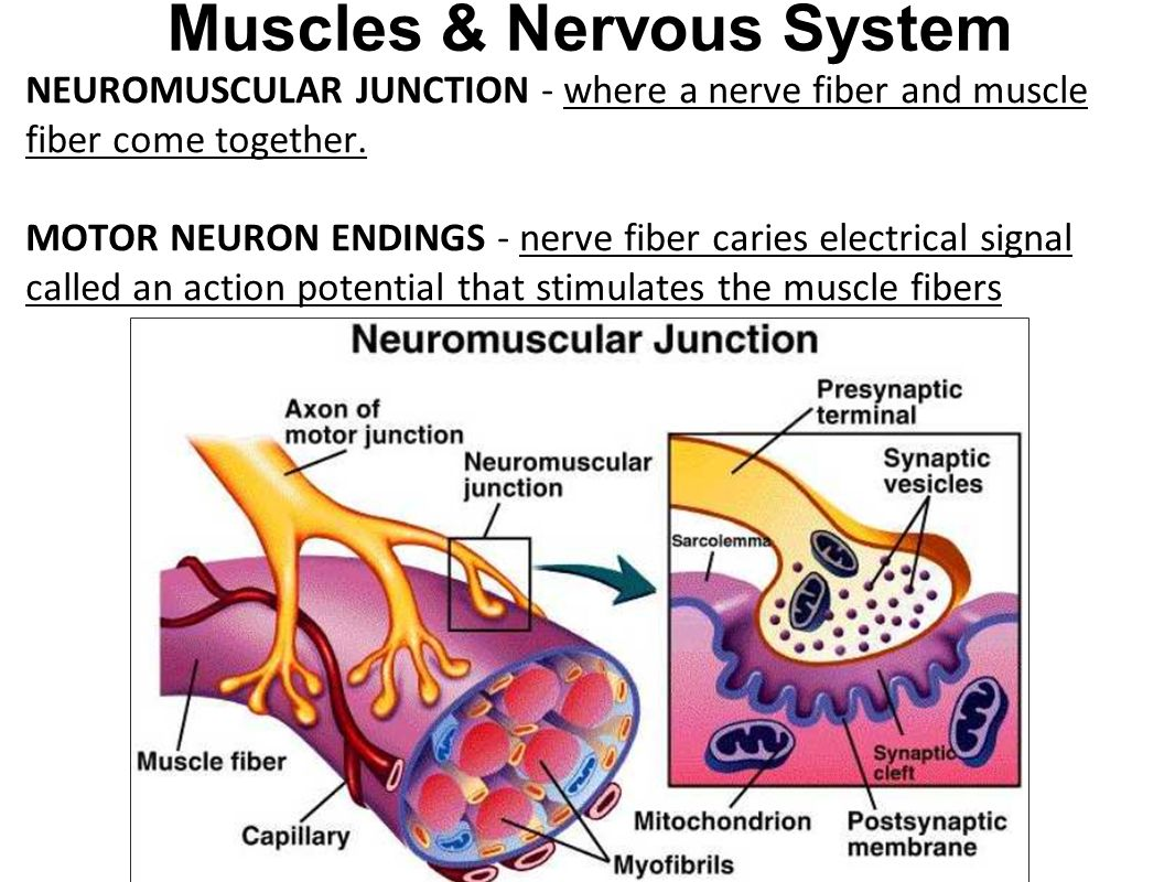 Uncategorized Neuron And Neuromuscular Junction Worksheet muscular system 3 types of muscle skeletal aka striated muscles nervous neuromuscular junction where a nerve fiber and come together
