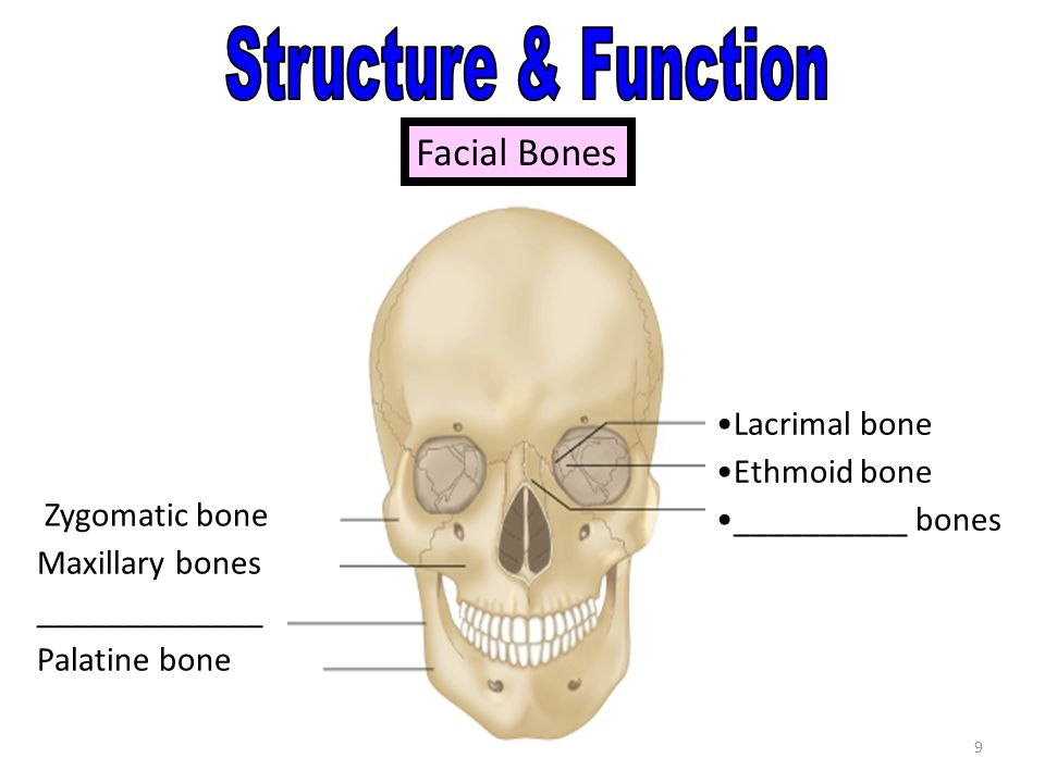 1 Structure and Function Forms the body framework Enables the body ...