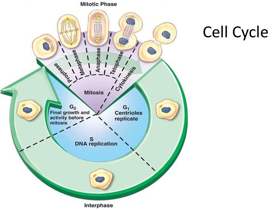 Prokaryote/Eukaryote Division Prokaryotes  Binary Fission – Similar to the cell cycle except an entire organism is replicated.