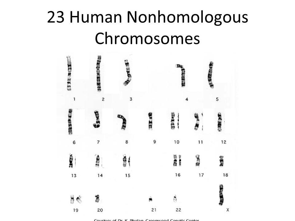 46 Human Homologous Chromosomes