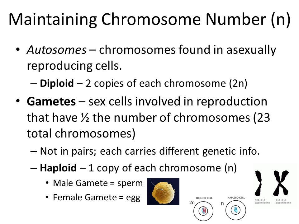 23 Human Nonhomologous Chromosomes