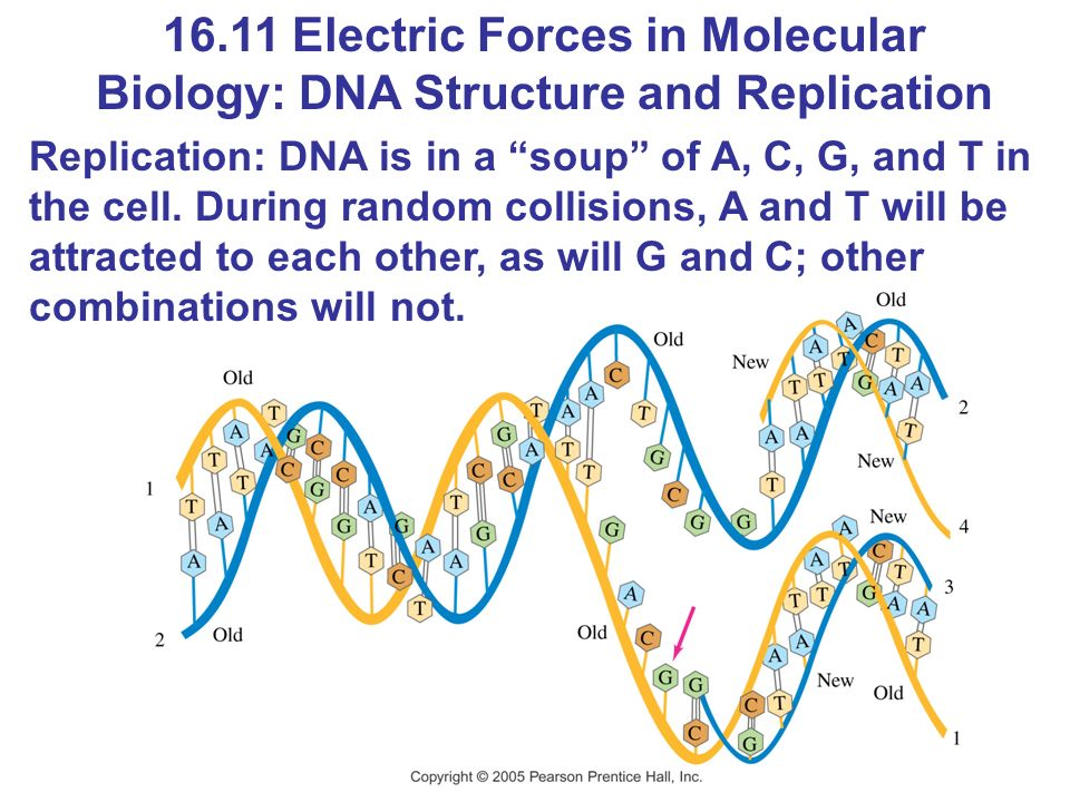 16.11 Electric Forces in Molecular Biology: DNA Structure and Replication Replication: DNA is in a soup of A, C, G, and T in the cell.