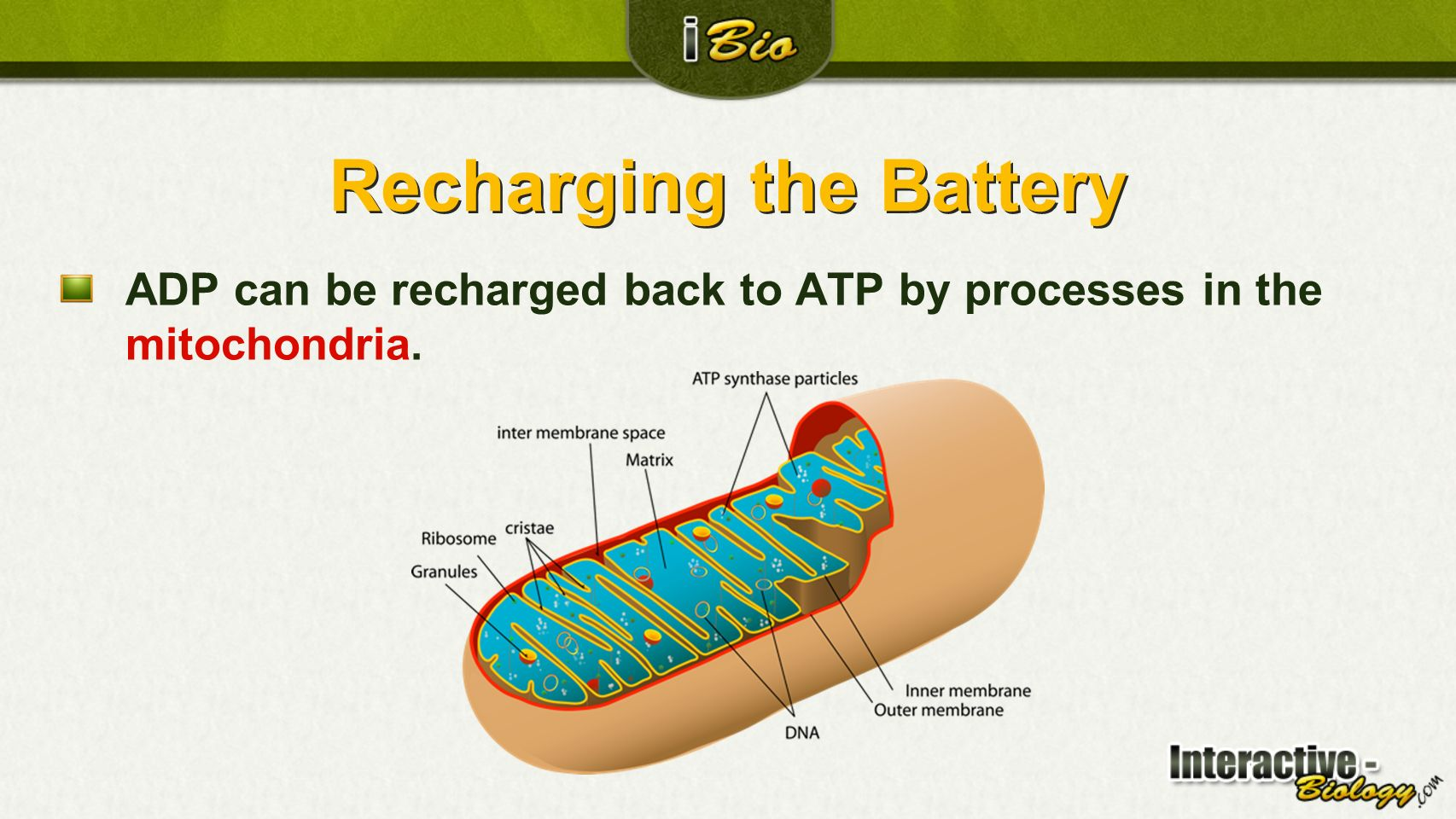 Cellular Respiration Section 1: ATP Adenosine triphosphate Section ...