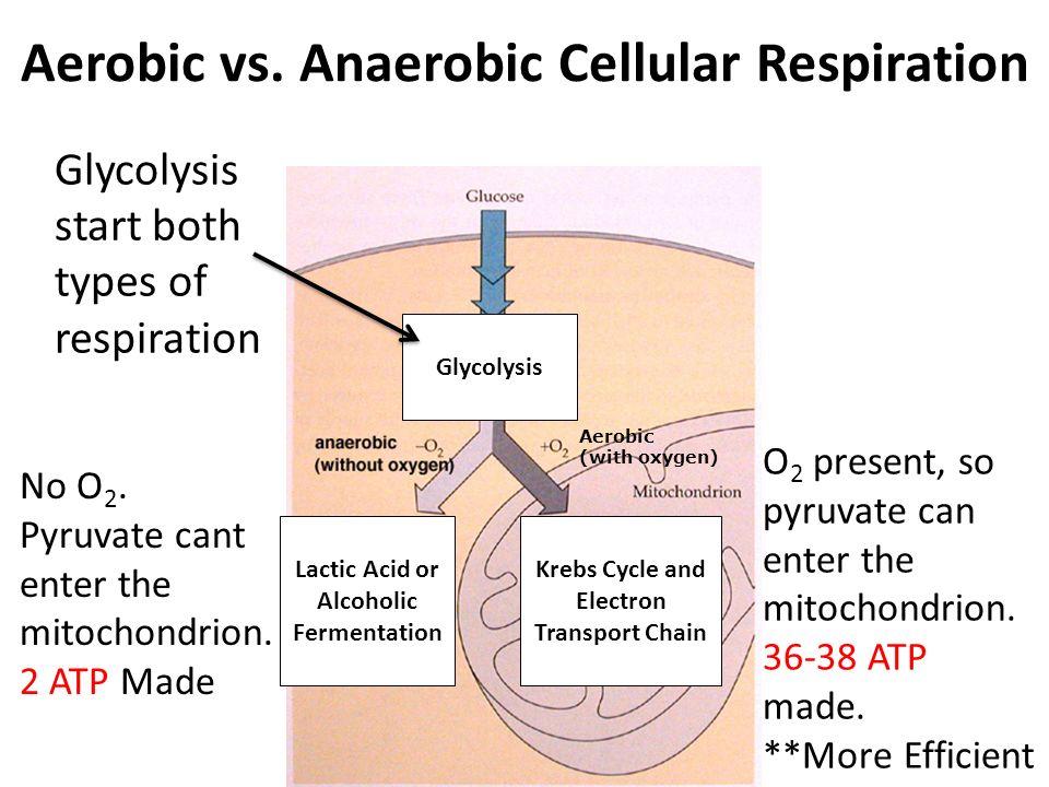 Venn Diagram Of Cellular Respiration And Fermentation Find Wiring Rh