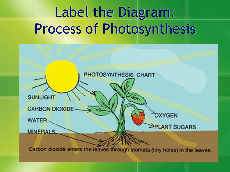 Chapter 5 photosynthesis photosynthesis thinking question 1 why 4 label the diagram process of photosynthesis ccuart Images