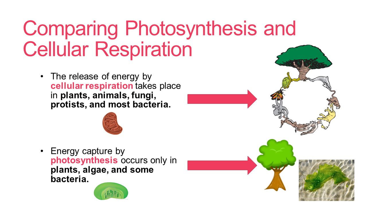 how are photosynthesis and cellular respiration related 10 generally, the rate of respiration is less than that of photosynthesis photosynthesis: 1 it takes place only in the cells containing chlorophyll 2 it takes place only in the presence of light 3 photosynthesis utilizes carbon dioxide and water 4 the end products of photosynthesis are carbohydrates and oxygen 5 during photosynthesis.