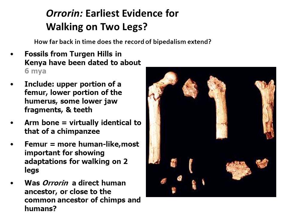 Human Evolution 12.6 Laetoli Footprints Laetoli footprints clearly ...