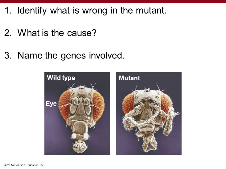 © 2014 Pearson Education, Inc. 1. Identify what is wrong in the mutant.