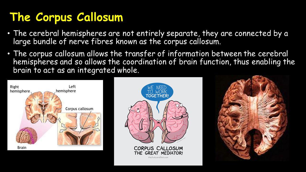 Ausgezeichnet Corpus Callosum Funktion Zeitgenössisch - Menschliche ...