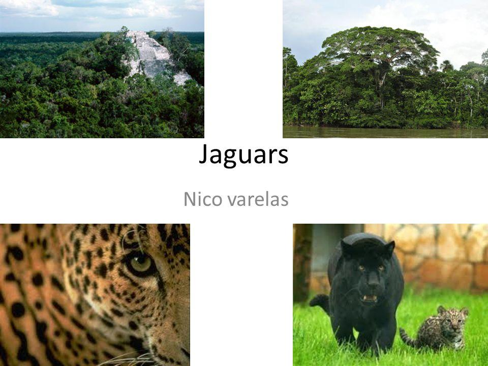 Jaguars Nico varelas