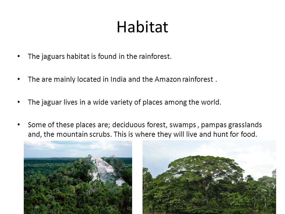 Habitat The jaguars habitat is found in the rainforest.