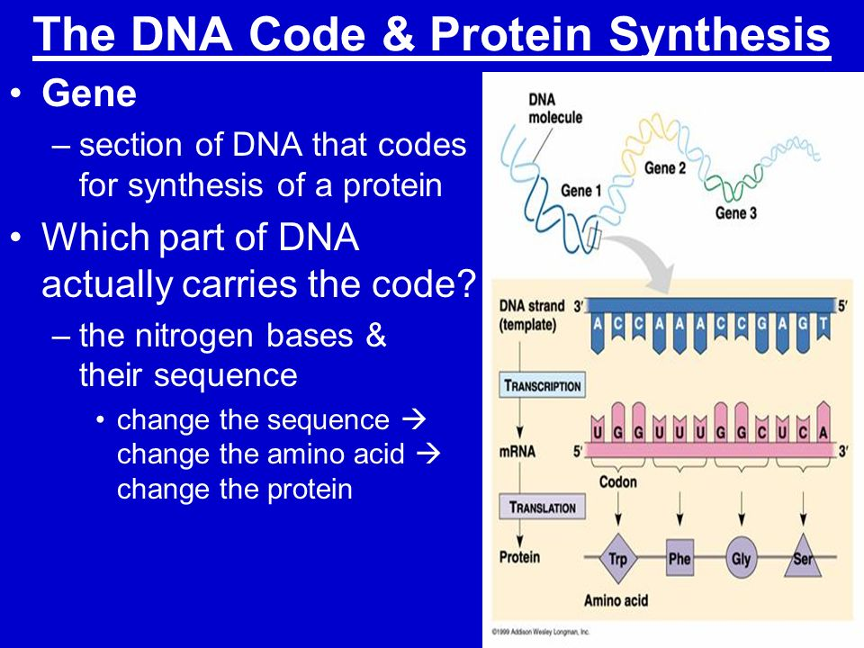 protein in dna sythesis