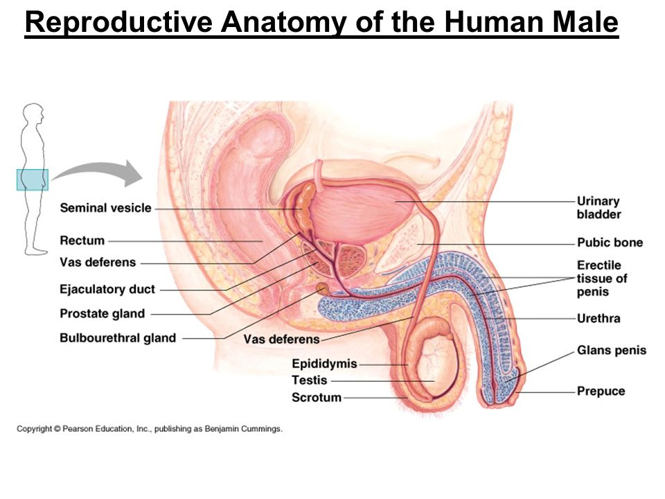 Reproductive system  Wikipedia
