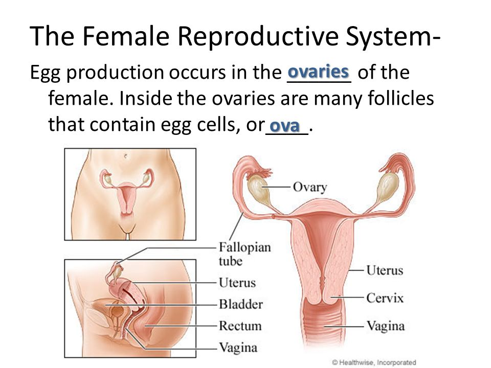 human reproductive Reproduction is an essential process for the survival of a species the functions of the reproductive systems are to produce reproductive cells, the gametes, an.