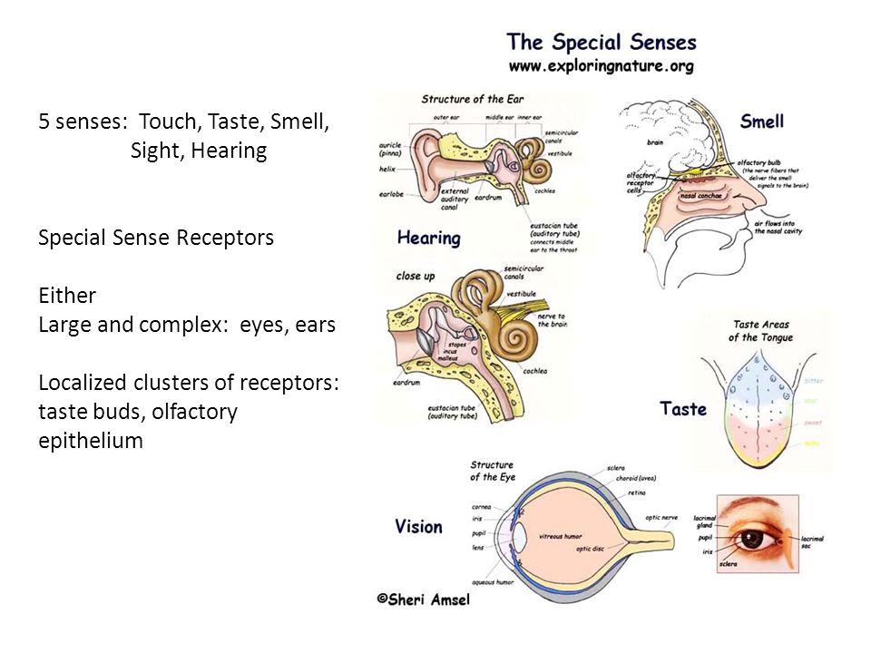 Moderno Anatomy And Physiology Senses Viñeta - Anatomía de Las ...