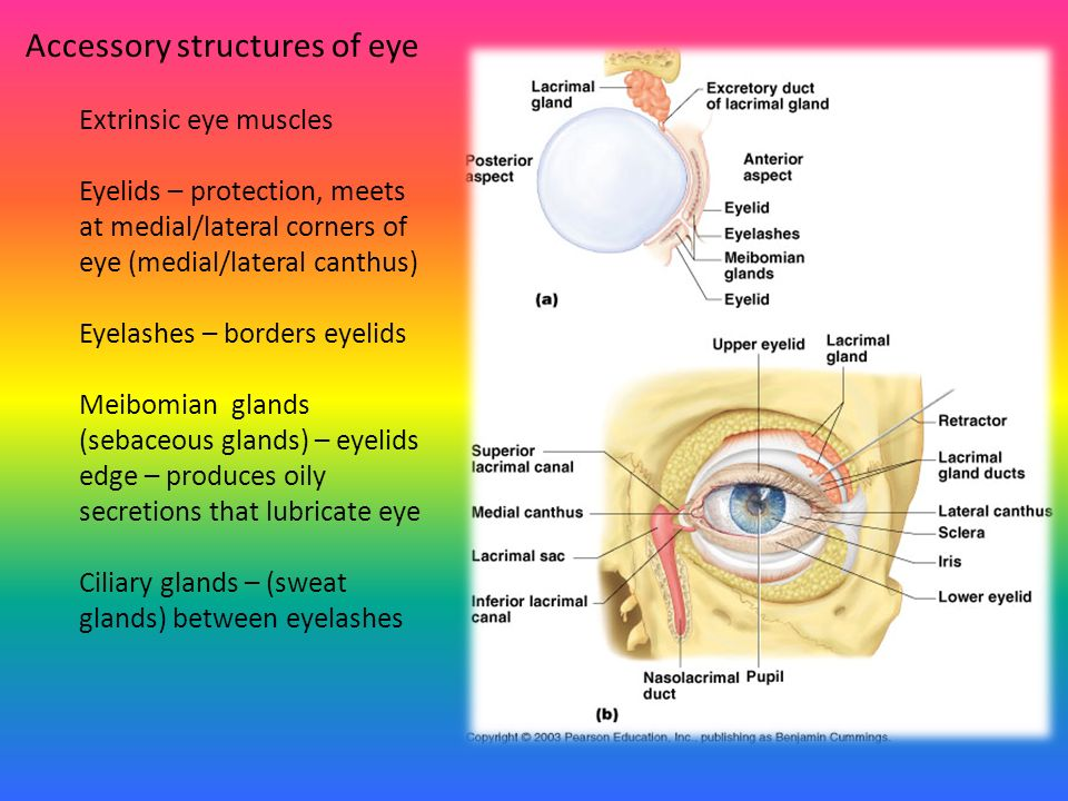 Chapter 8 Special Senses – Eye, Ear, Taste Anatomy and Physiology ...