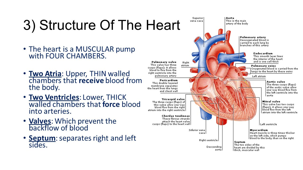 Chapter 37 circulatory and respiratory systems dragonfly textbook weird science fact the heart will continue to beat for several minutes after removal from the ccuart Choice Image