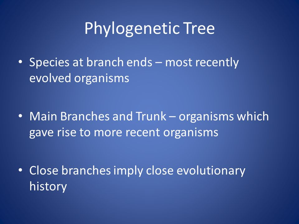 Phylogenetic Tree Species at branch ends – most recently evolved organisms Main Branches and Trunk – organisms which gave rise to more recent organisms Close branches imply close evolutionary history