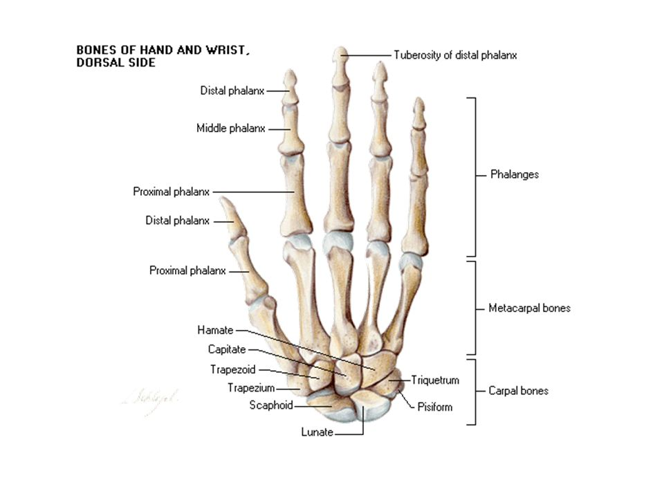 Wrist And Hand Chapter 18 May Anatomy Bones Carpal Bones Are