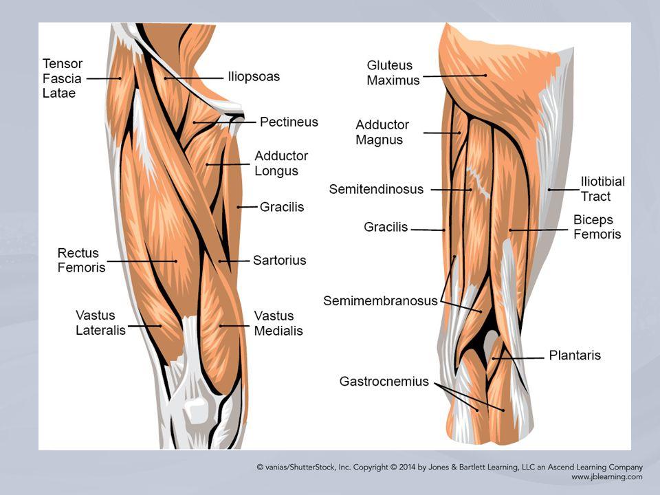 Chapter 15 Injuries to the Thigh, Leg, and Knee. Bony Anatomy Bones ...