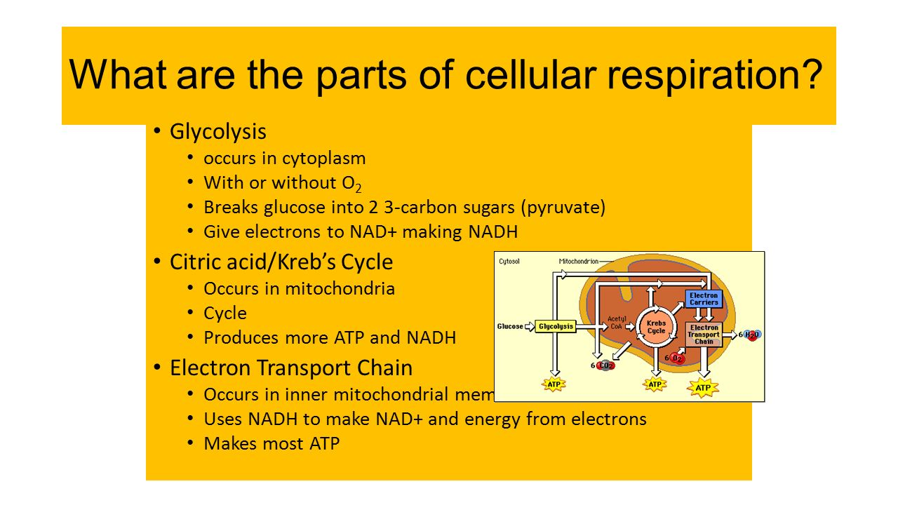 Energy in Cells Like the energizer rabbit, they keep going and ...
