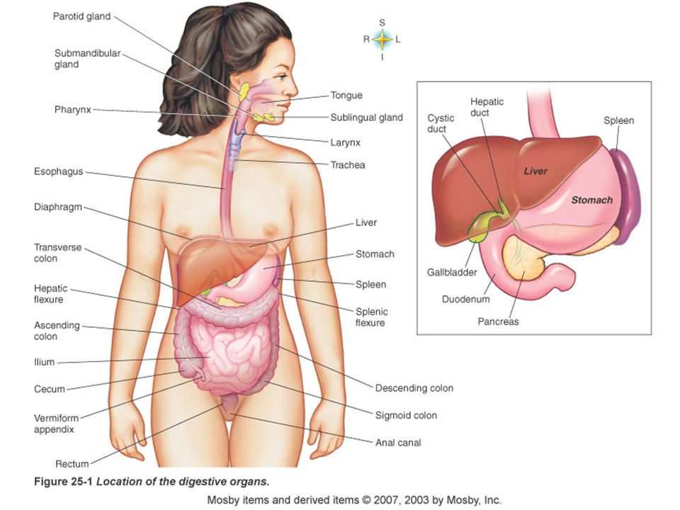 an analysis of the digestive system a system of organs for changing food chemically for absorption