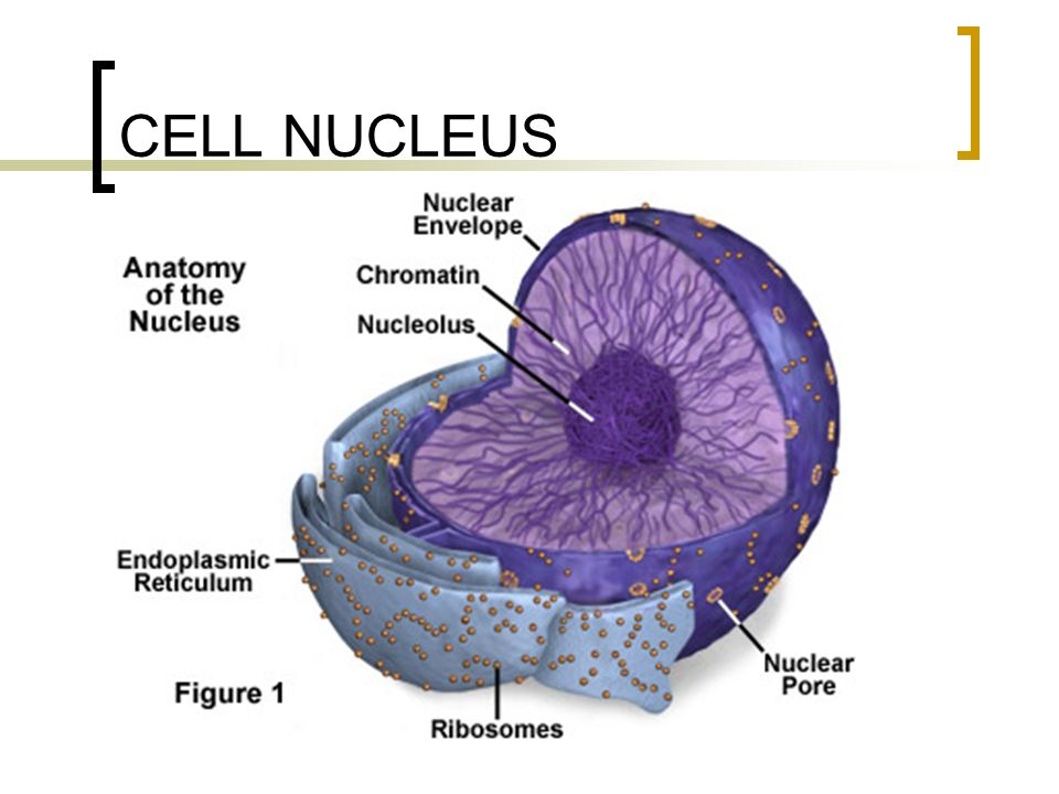 parts of cell nucleus The nucleus is a highly specialized organelle that serves as the information and administrative center of the cell this organelle has two major functions it stores the cell's hereditary material, or dna, and it coordinates the cell's activities, which include intermediary metabolism, growth.