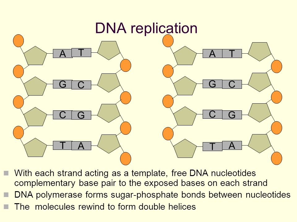 Nucleic acids dna replication revision nucleic acids polymers 19 dna replication with each strand acting as a template pronofoot35fo Images