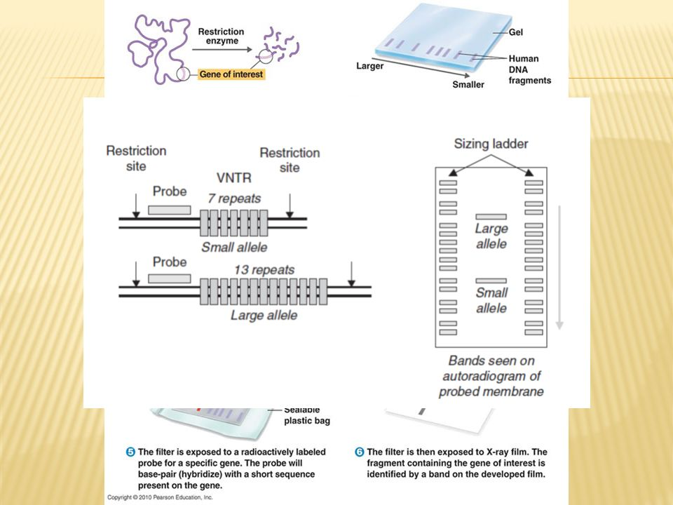 heterozygot og homozygot