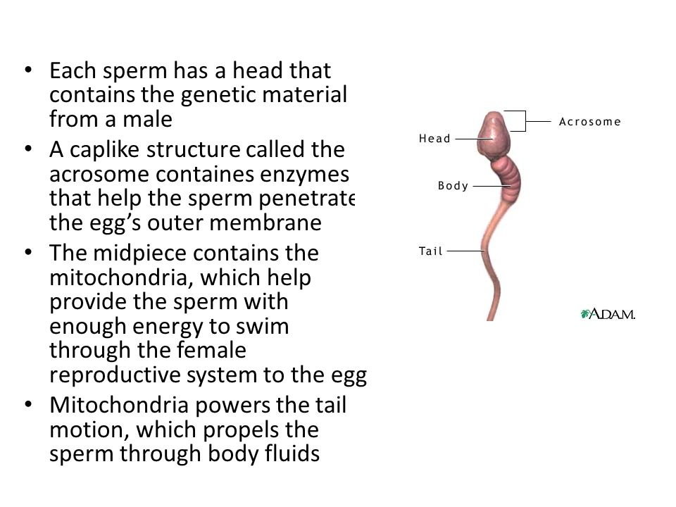 Each sperm has a head that contains the genetic material from a male A caplike structure called the acrosome containes enzymes that help the sperm penetrate the egg's outer membrane The midpiece contains the mitochondria, which help provide the sperm with enough energy to swim through the female reproductive system to the egg Mitochondria powers the tail motion, which propels the sperm through body fluids