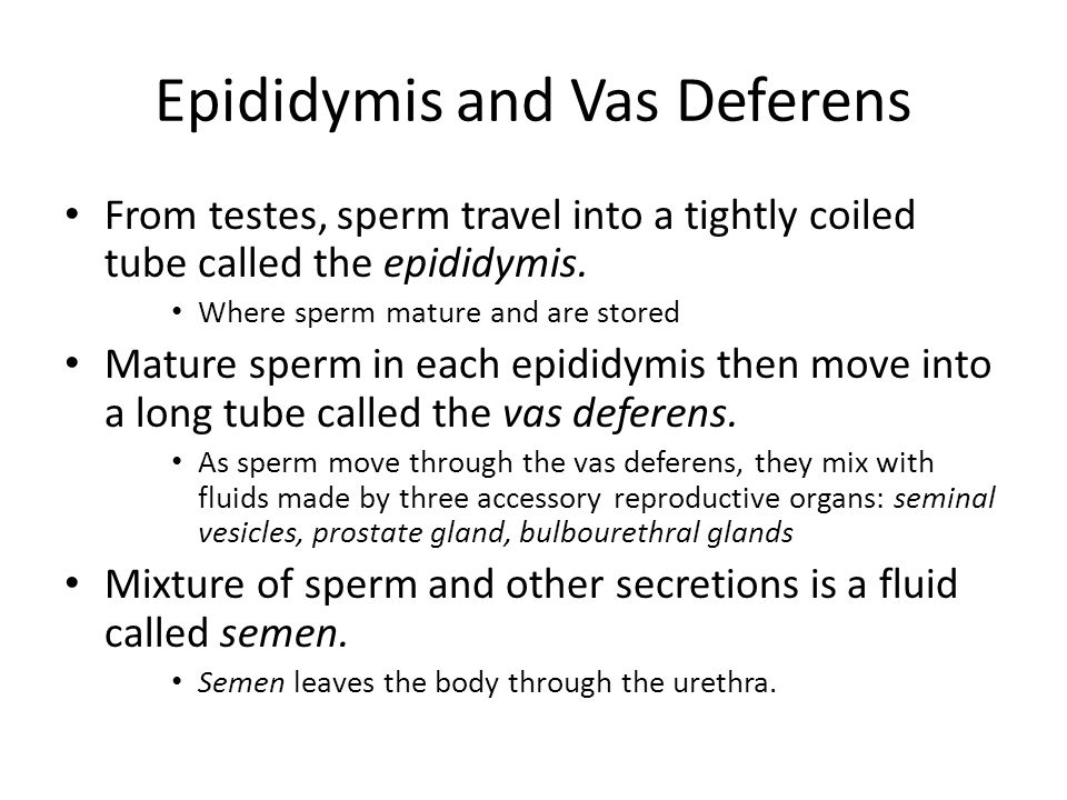 Epididymis and Vas Deferens From testes, sperm travel into a tightly coiled tube called the epididymis.