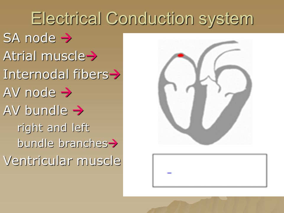 Electrical Conduction system SA node  Atrial muscle  Internodal fibers  AV node  AV bundle  right and left bundle branches  Ventricular muscle