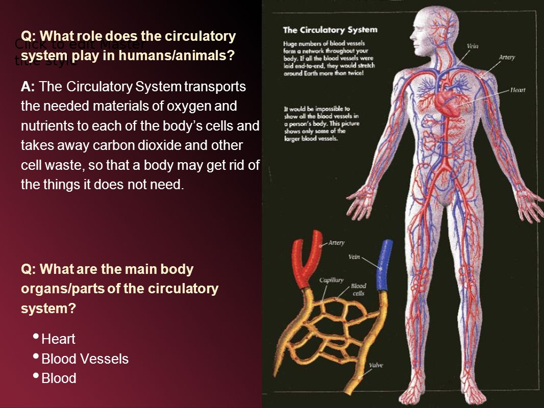 The heart the circulatory system the circulatory system is the q what role does the circulatory system play in humansanimals ccuart Image collections