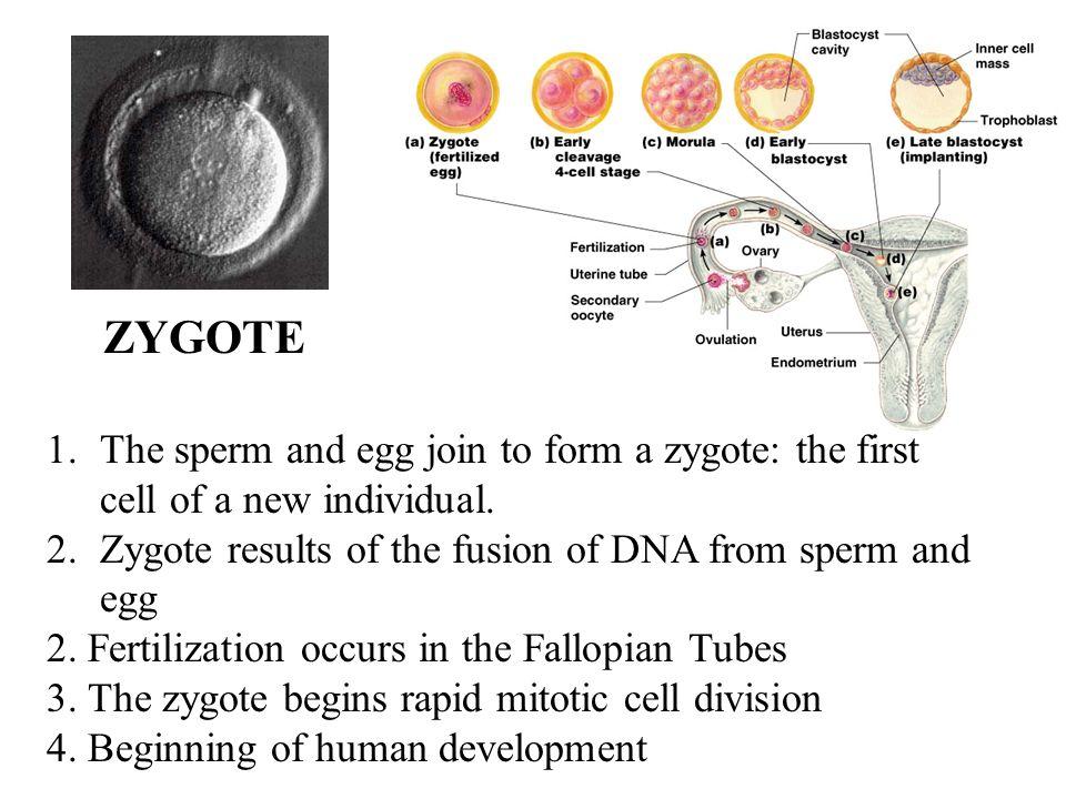 the human egg cell Human egg cell vector photo about mitosis, animal, growth, cell, ovary, biology, follicle, microscopic, oocyte, embryo, ovum, healthcare, female, fertilization, health.