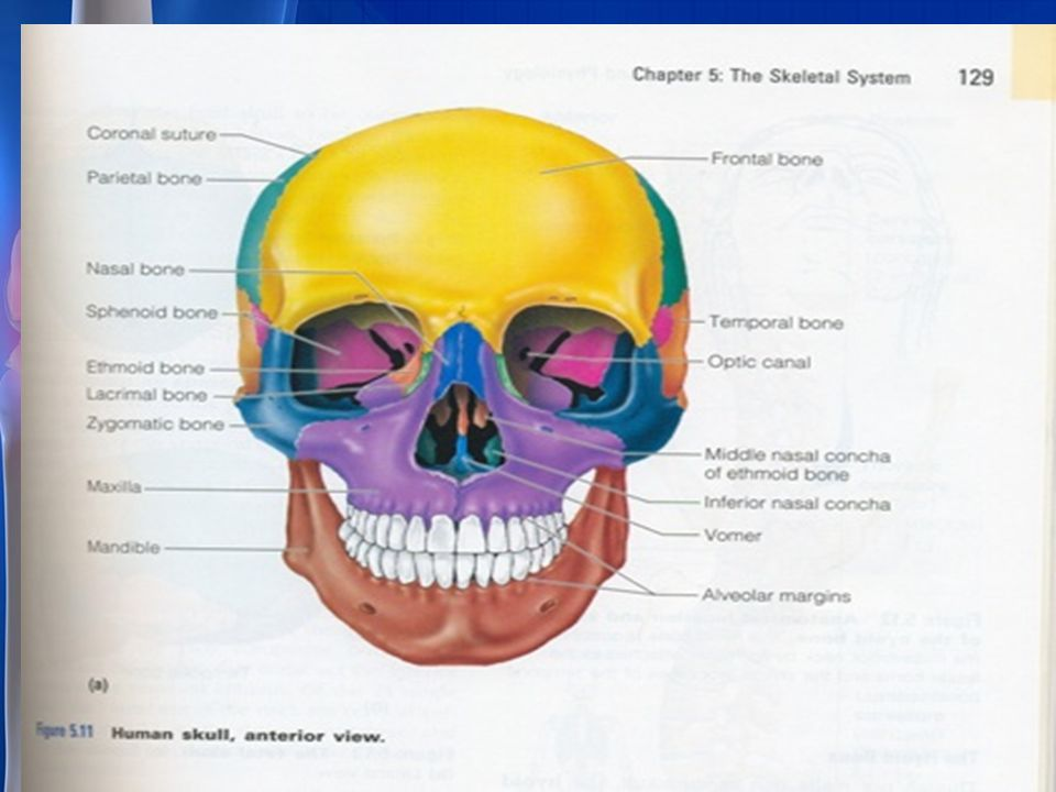 skeletal system axial skeleton: the bones that form the, Human Body