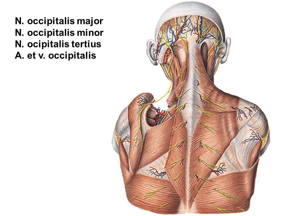 Berühmt N. Occipitalis Major Anatomie Zeitgenössisch - Menschliche ...