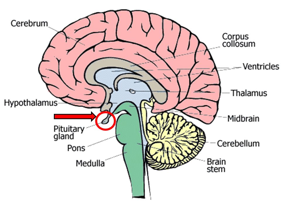 the pituitary gland 11(b). overview of the pituitary gland the, Sphenoid
