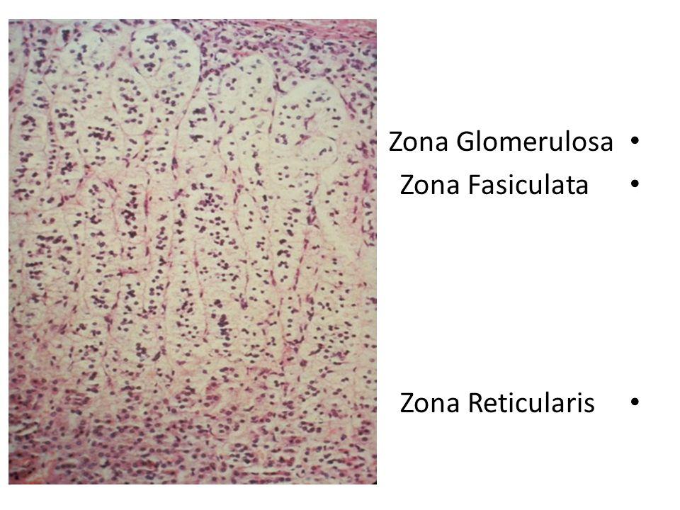 zona glomerulosa zona fasiculata zona reticularis. - ppt download, Human Body