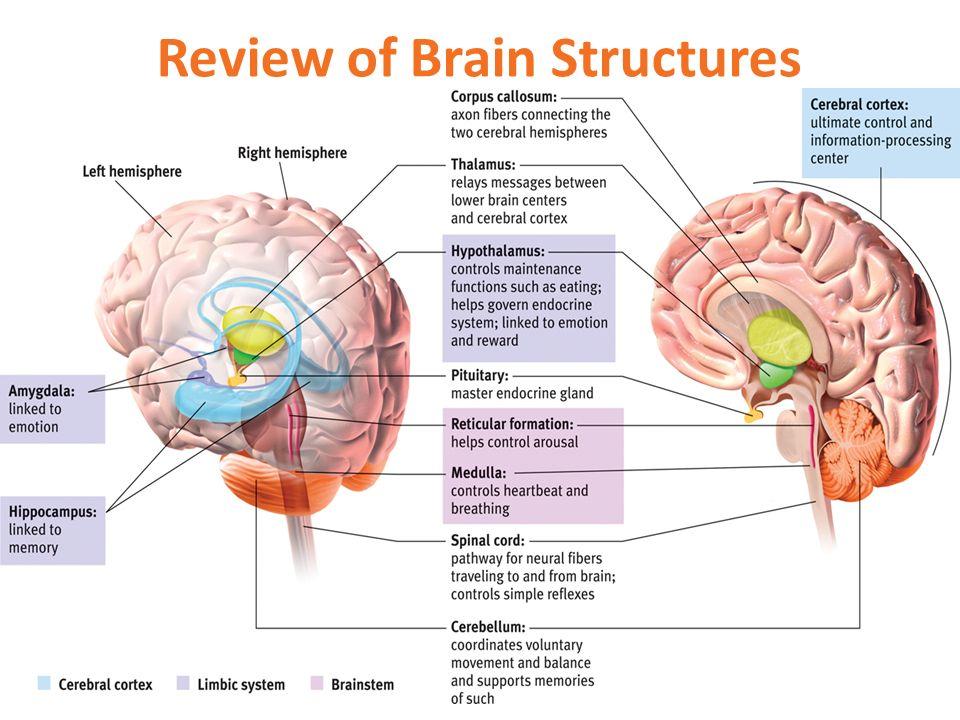 Niedlich Diagram Of Brain Parts And Functions Galerie Menschliche