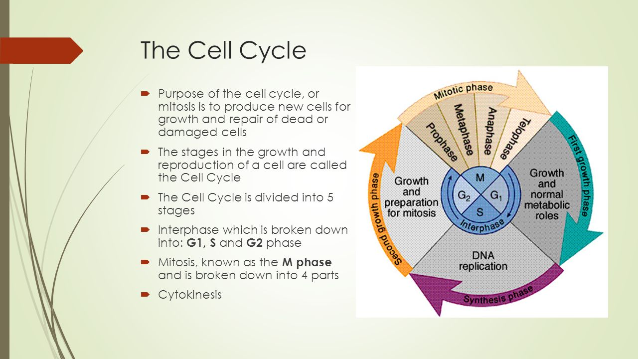 Cell cycle and mitosis where you have to divide to multiply ppt 6 the pooptronica