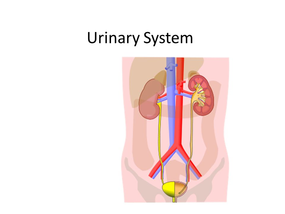 Urinary System. Consists of: Kidney(s) Ureters Urinary Bladder ...