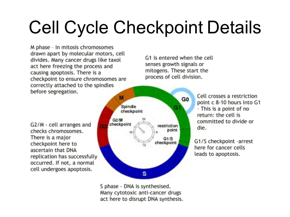 how the cell cycle operates
