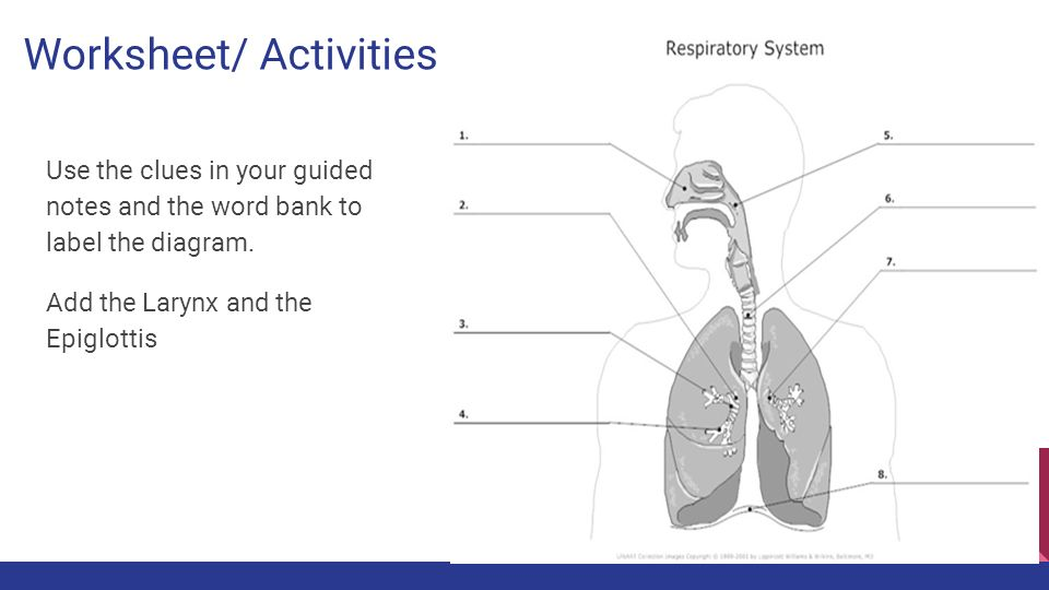 Respiratory system worksheet pack by Rahmich - Teaching Resources ...