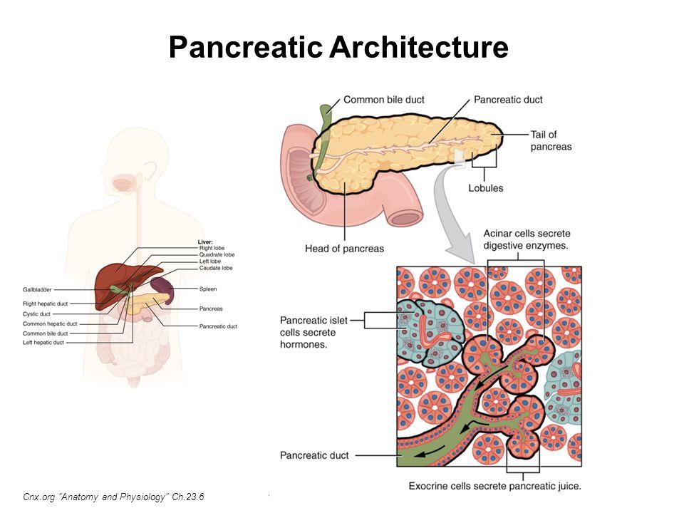 Pancreatic Alpha & Beta Cells Pancreatic Alpha & Beta Cells BCMP234 ...