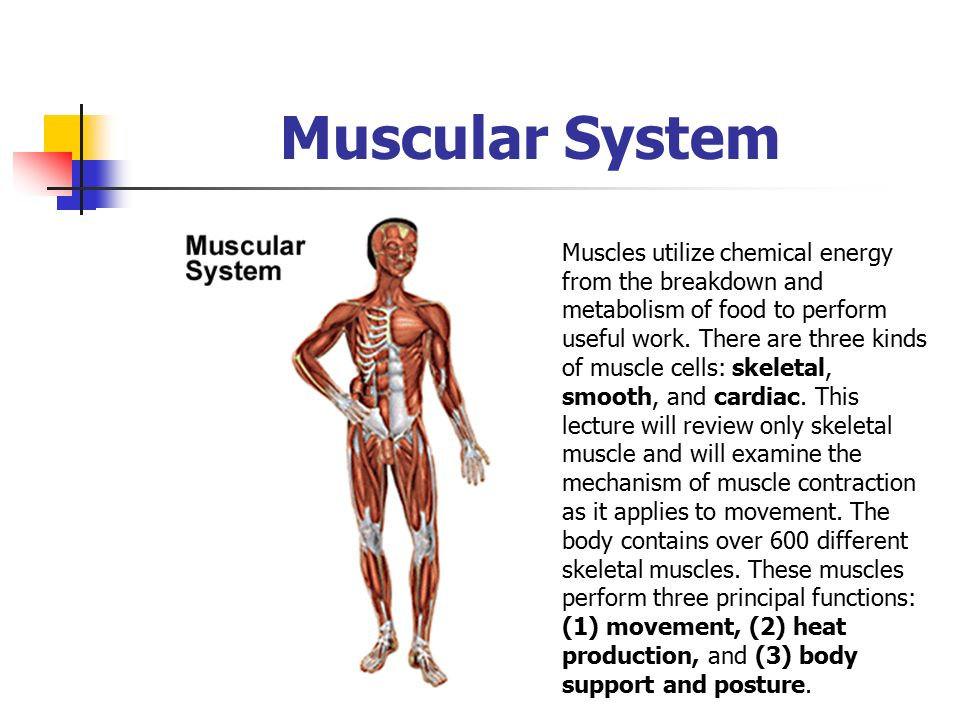 Excepcional Anatomy And Physiology Chapter 7 Muscular System ...