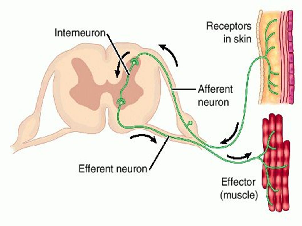 The reflex arc reflexes are an automatic and rapid response to a download ppt the reflex arc pooptronica
