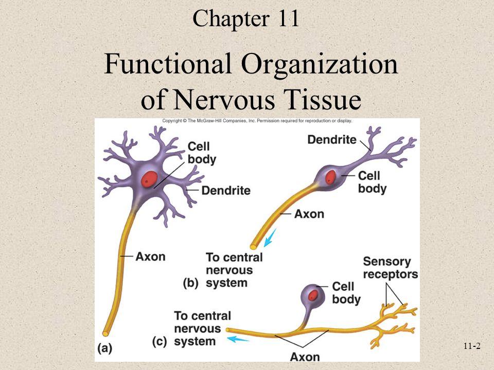 11-1 Anatomy and Physiology, Sixth Edition Rod R. Seeley Idaho State ...